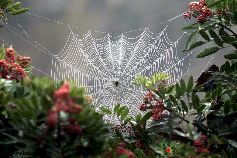 تارهایی با قدرت تارهای مرد عنکبوتی تولید می شوند|کالاسودا