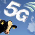 گاوهای این مزرعه مجهز به اینترنت 5G هستند!