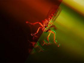 تزریق سم عنکبوت به نوعی قارچ برای کشتن پشه مالاریا